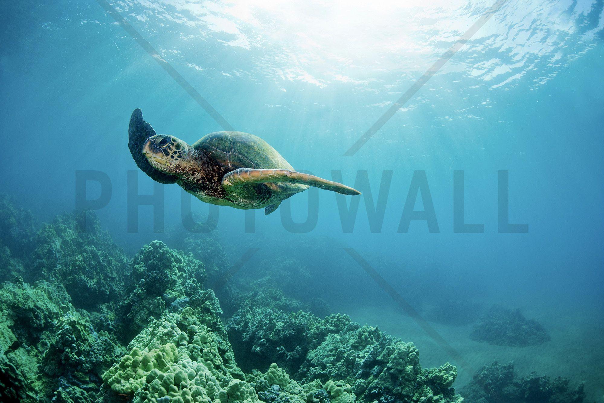 Hawaiian Green Sea Turtle Wall Mural
