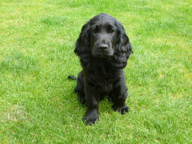 Stunning Black Cocker Spaniel Puppy For Sale Spaniel Puppies For