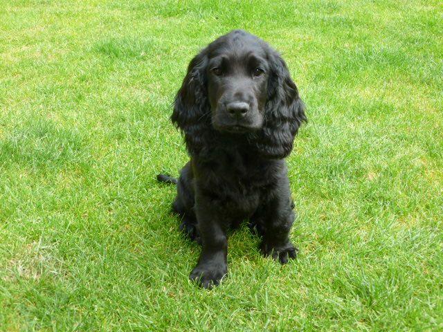 Stunning Black Cocker Spaniel Puppy For Sale Black Cocker