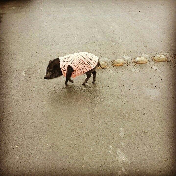 my peggy..#pig #minipig.. the best pet/ la mejor mascota que se puede tener
