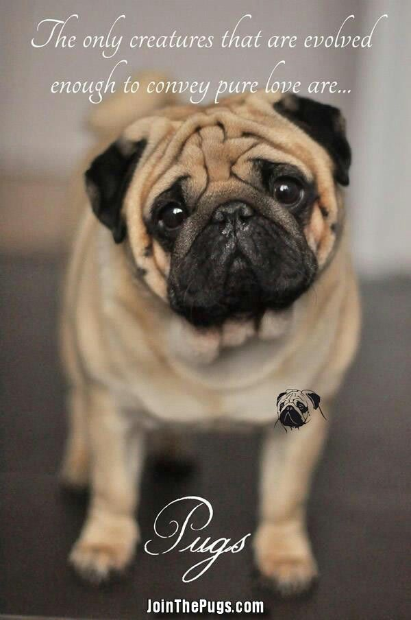 Pug Puglifeinspo Dogquotes Doginspo Aboutdogs Doggyquotes