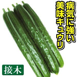 接木野菜苗 キュウリ 接木f1味まっしぐら 4株 きゅうりの苗 キュウリ