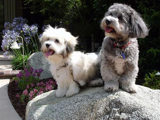 Two Havanese One Gray And One Cream Color Havanese Havanese Dogs Havanese Puppies