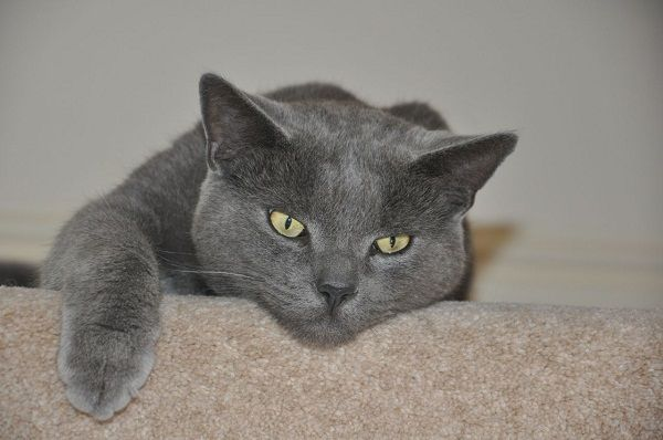 Russian Blue Cat Breeders With Yellow Eyes