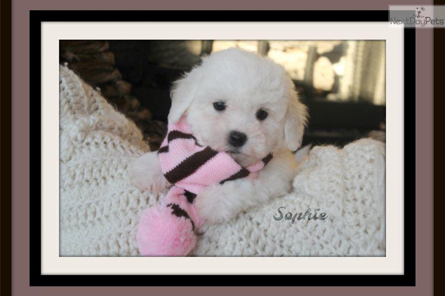Sophie Bichon Frise Puppy For Sale Near Little Rock Arkansas