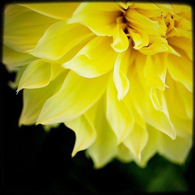 The one that dreamed of being the sun. #pnw #macro_flowers #ig_flowers #flowerstalking #9vaga_flowersart9 #ig_mood #bestcaptureglobal #hot_macros #em_member #smallworld_uc #pocket_pretty #topfleur #fav_flowers_ #quintaflower #flowersandmacro #my_daily_flower #igscflowers #flipping_flowers #Macroandflora #macroclique #saylovetonature #tgif_macro #eye_for_earth #epix_flowerz #pocket_macro #flaming_flora #petal_perfection #lens_it2me