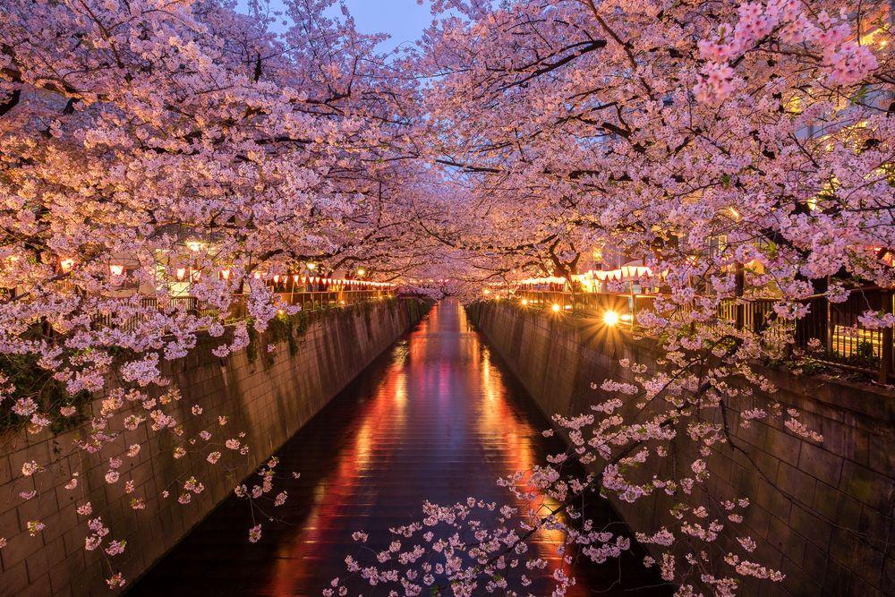 15 Best Places To See Cherry Blossoms In Tokyo 2019 Kersenbloesem Sakura Japan