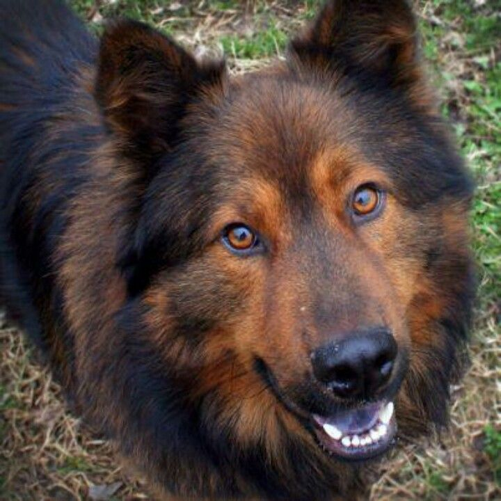 german shepherd chow mix german shepherd chow mix quot roger quot horses dogs pinterest 1114