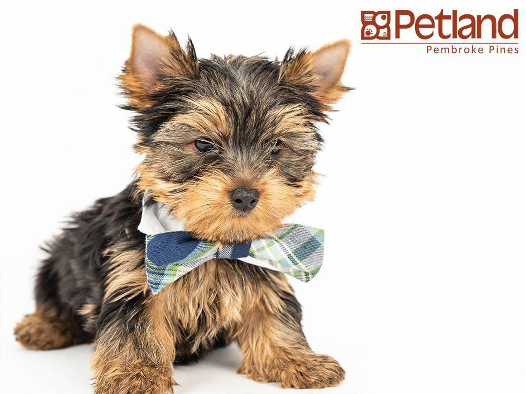 Petland Florida Has Yorkshire Terrier Puppies For Sale Interested In Finding Out More About This Breed Check Out Our Available P Yorkshire Terrier Pinte