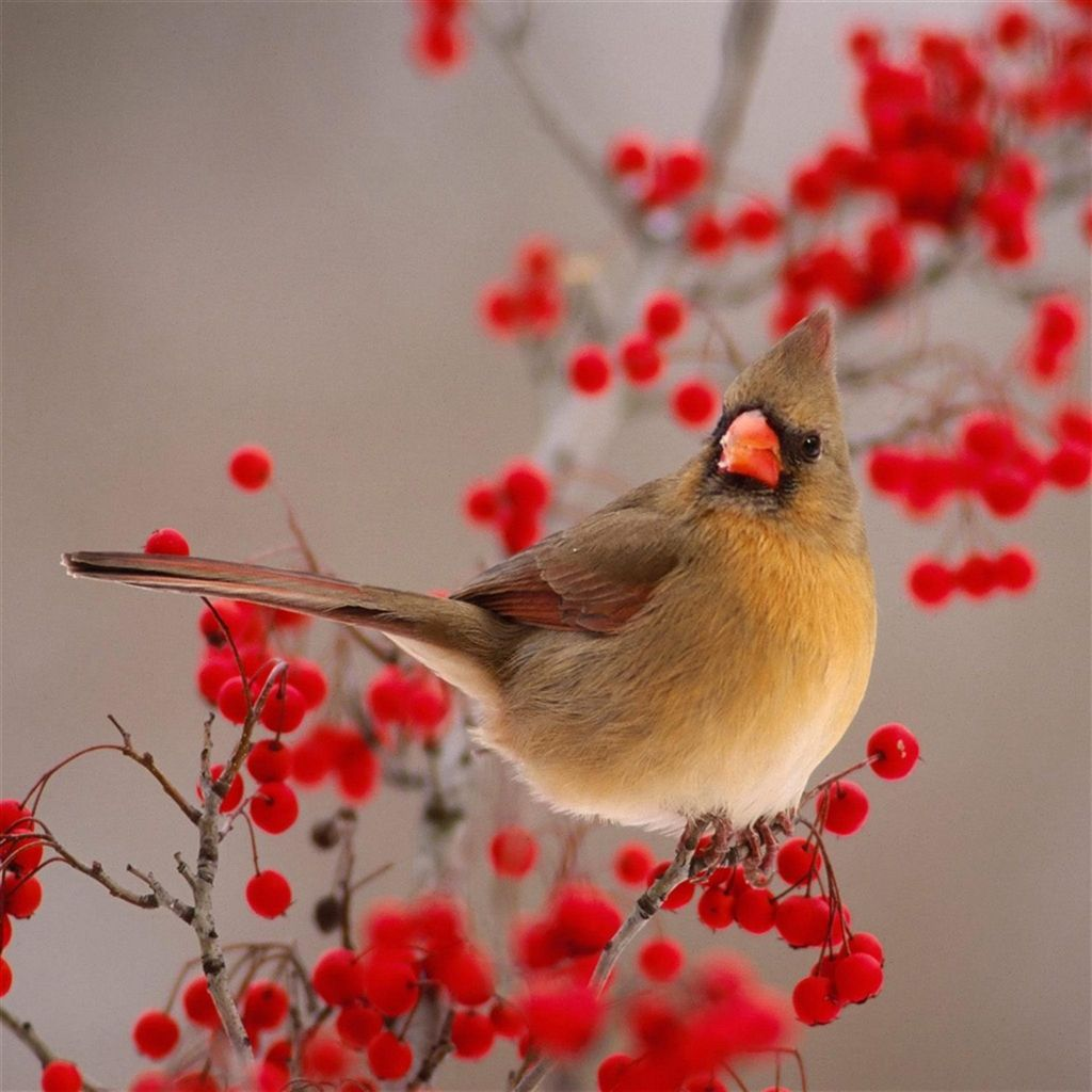 Nature Winter Bird On Wild Red Fruit #iPad #Air #wallpaper ...