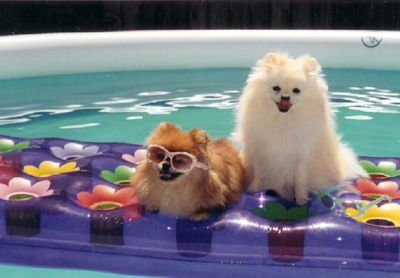Pomeranians are my favorite <3