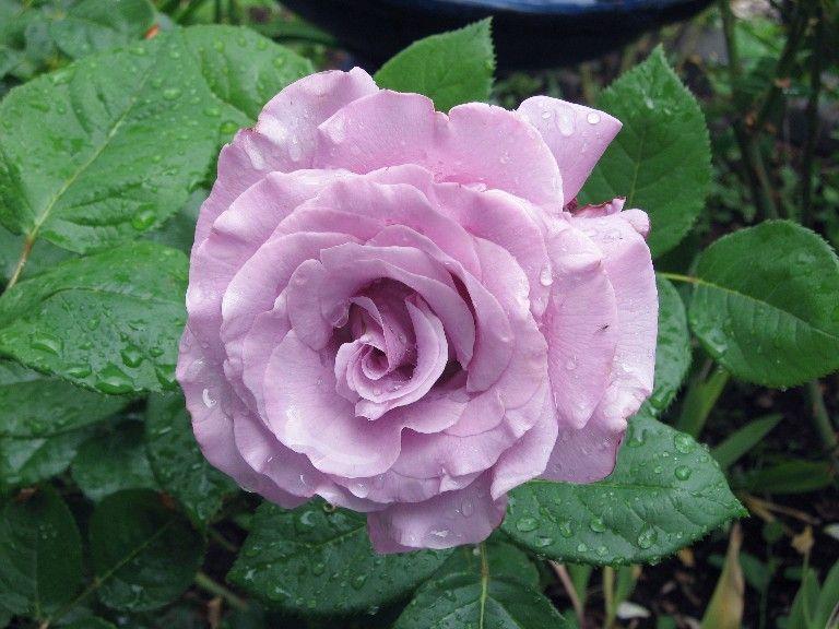 """Sterling Silver"" rose - so fragrant"