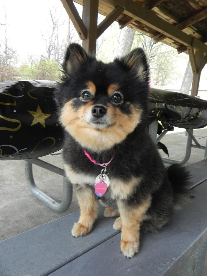 Trimmed Pomeranian For My Dawgs Pinterest Pomeranian