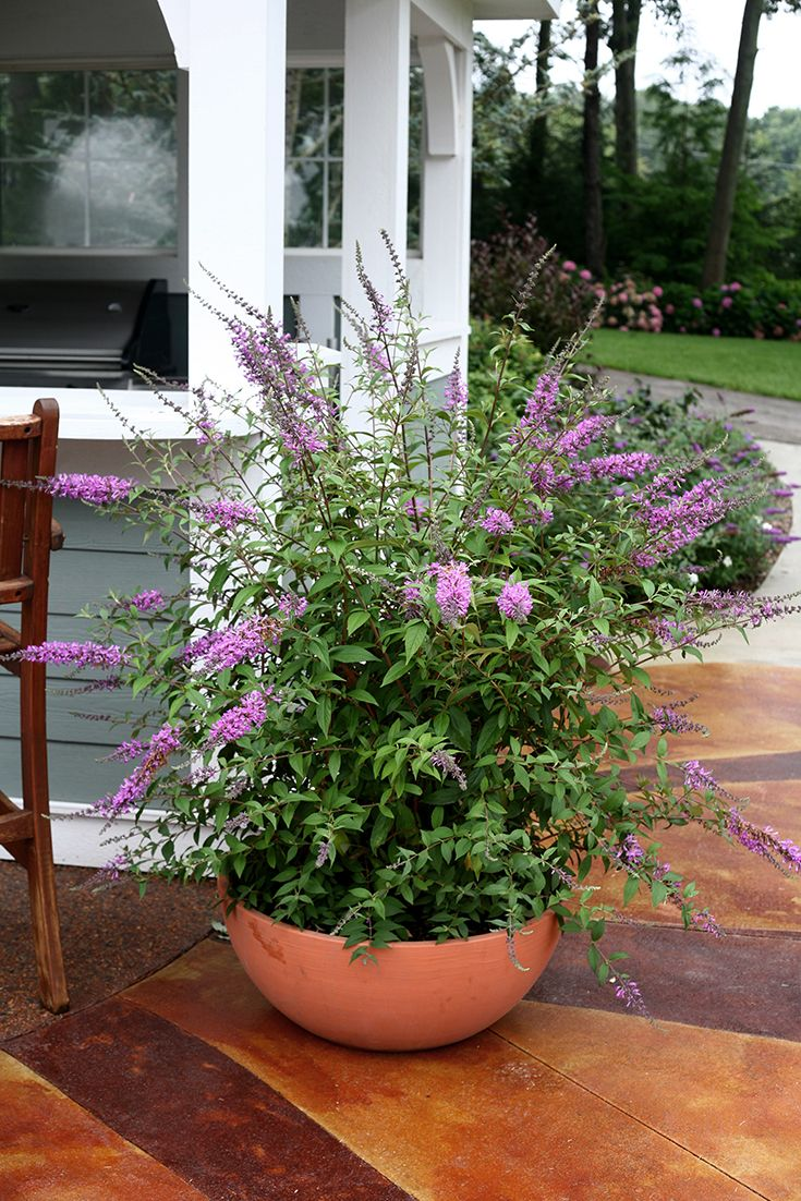 Christmas Bush In Pots.A Lush Container Of Inspired Violet Butterfly Bush Buddleia Brings