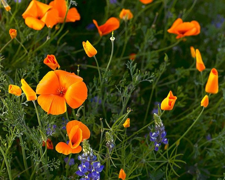 Field guide poppies california poppy flowers and gardens eschscholzia californica california poppy by doug dolde via wikipedia commons mightylinksfo