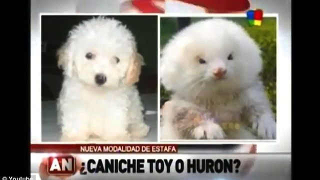 Guy Tries To Buy Toy Poodles Gets Fluffy Steroid Pumped Giant