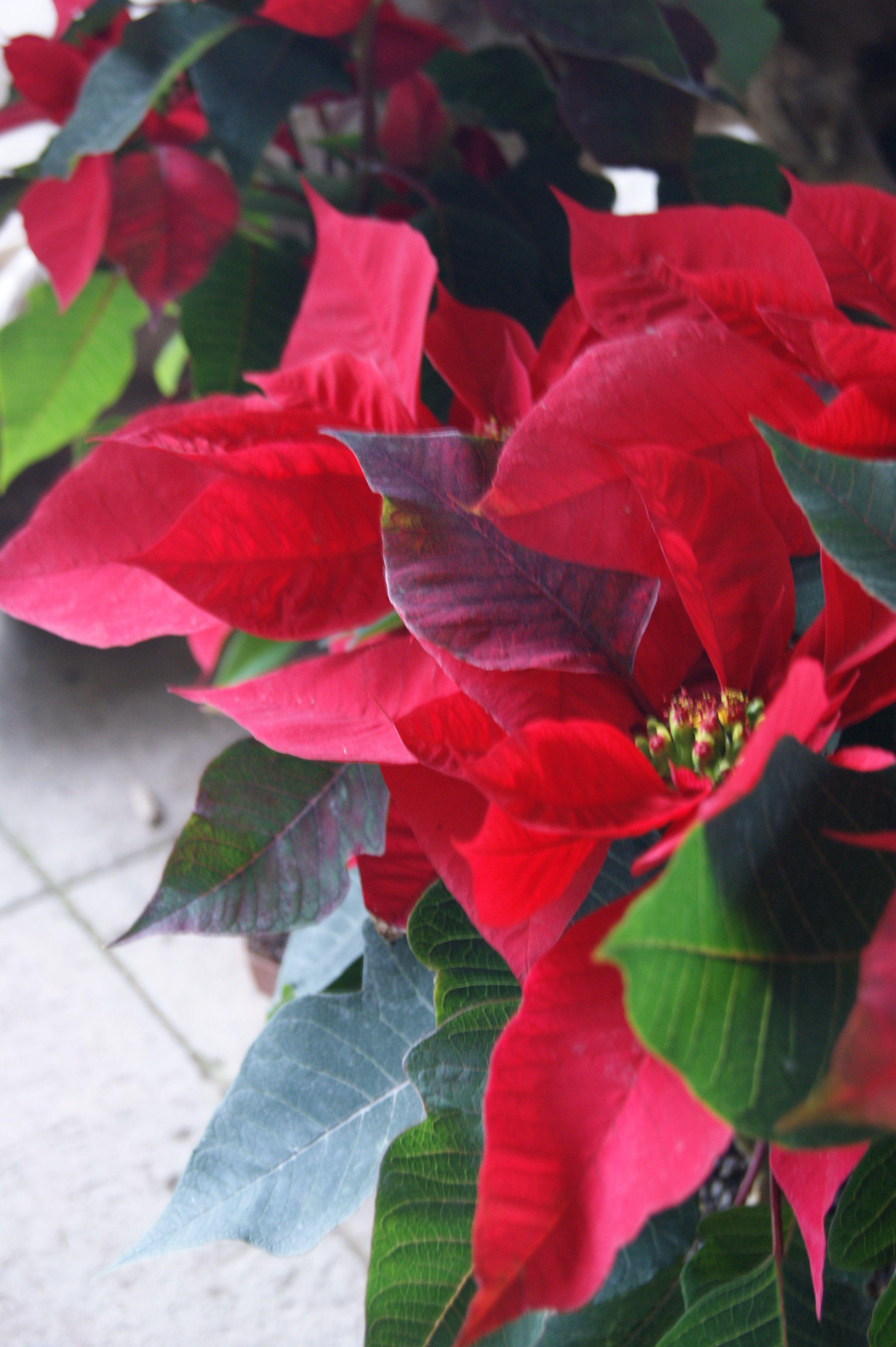 Euphorbia Pulcherrima Conocida Comunmente Como Pastora Pascuero Noche Buena Flor De Pascua Estrella Federal O Christmas Flowers Picking Flowers Poinsettia