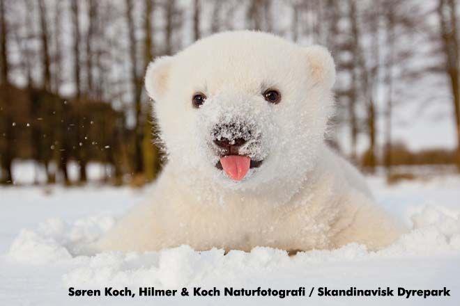 little snowy polar bear
