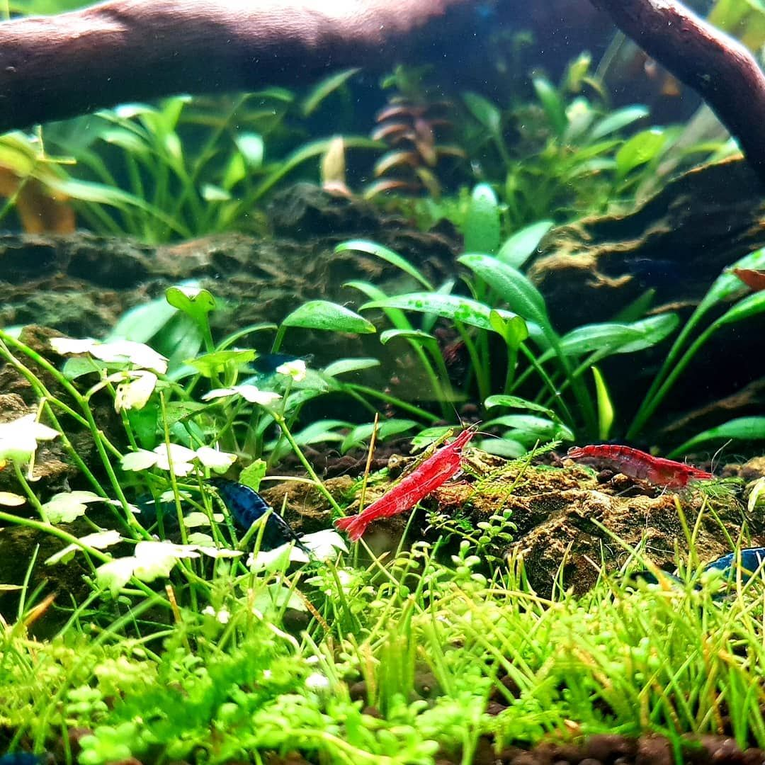 Shrimp Tank In 2020 Shrimp Tank Planted Aquarium Red Cherry Shrimp