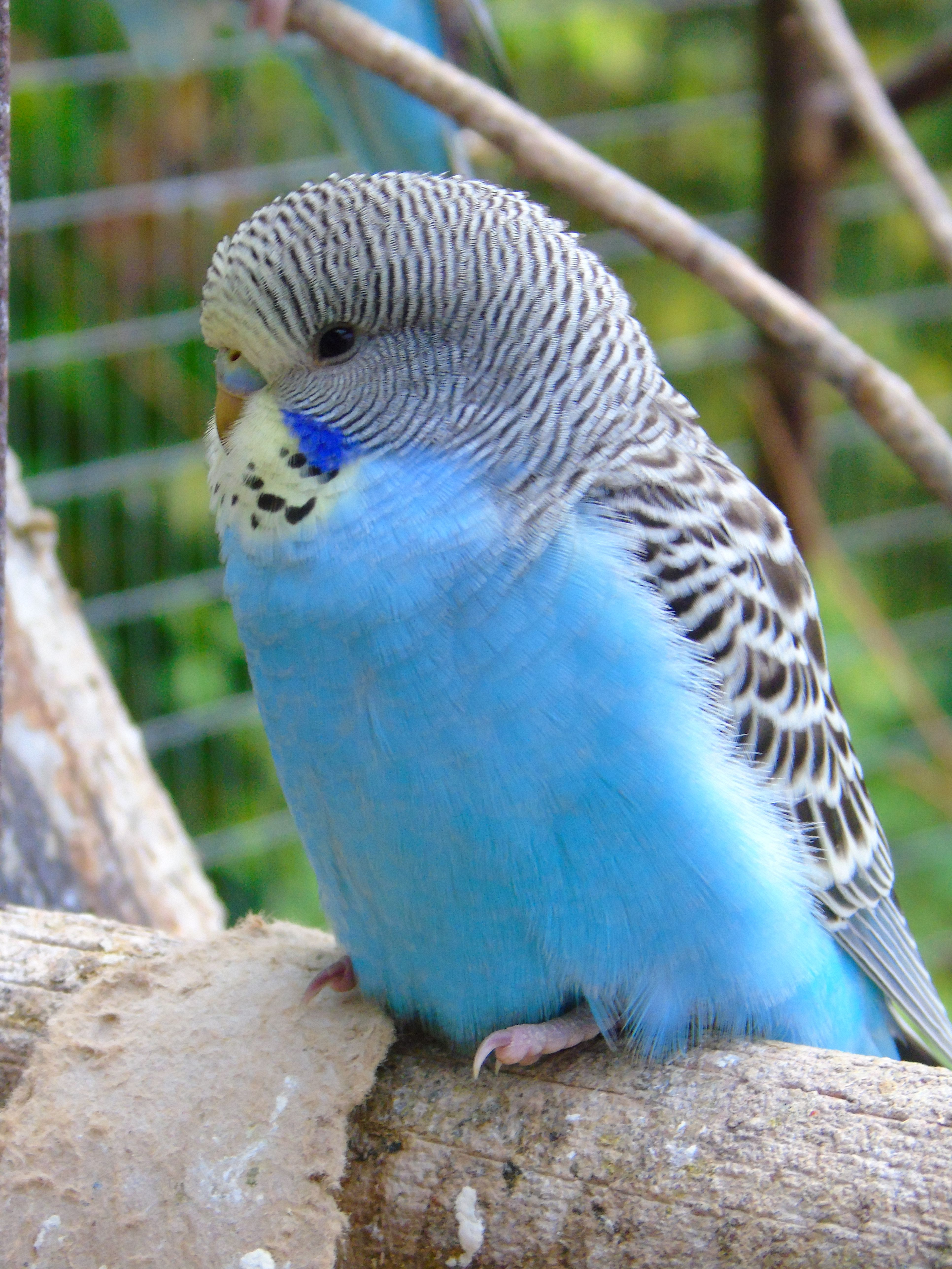 budgie i had one that had similar colours and her name was tobi