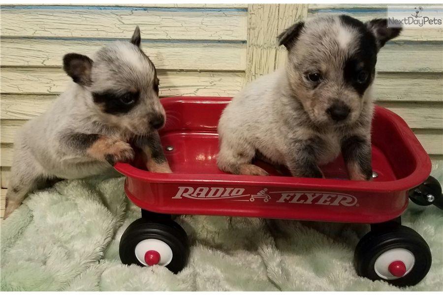 Australian Cattle Dog Blue Heeler Puppy For Sale Near Houston