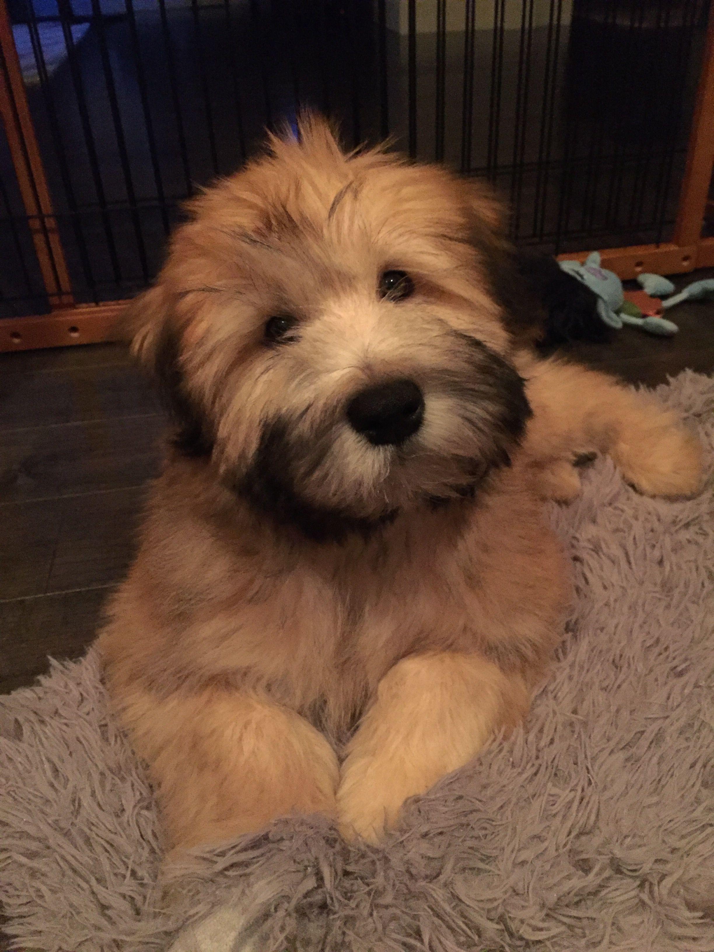 Bearsoft Wheaten Terrier Fozzie Coated Mymy Fozzie Bear