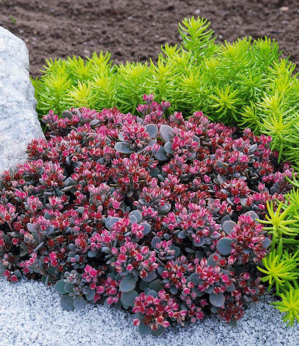Sedum Sun Sparkler u00ae'Sedoro Blue Elf' Sedum Rozchodník Sedum plant, Garden plants und  ~ 26081049_Sukkulenten Winterhart Steingarten
