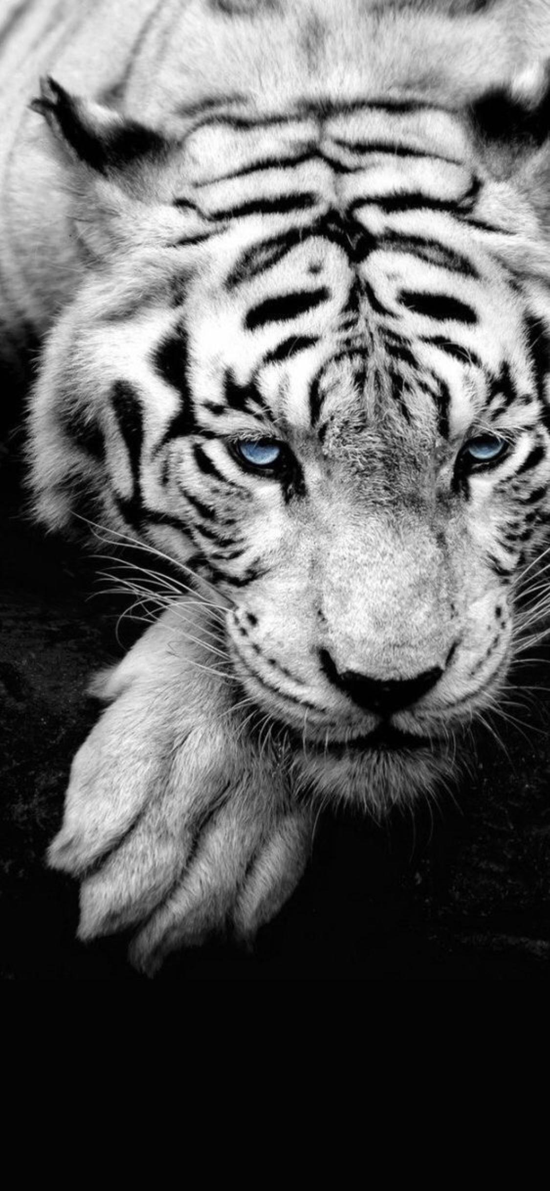 Wallpaper Iphone X Wild Animal Wallpaper Pet Tiger Tiger Wallpaper