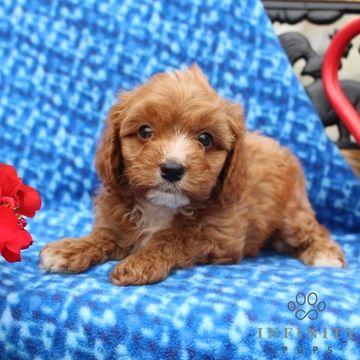 Cavapoo Puppy For Sale In Gap Pa Adn 36506 On Puppyfinder Com