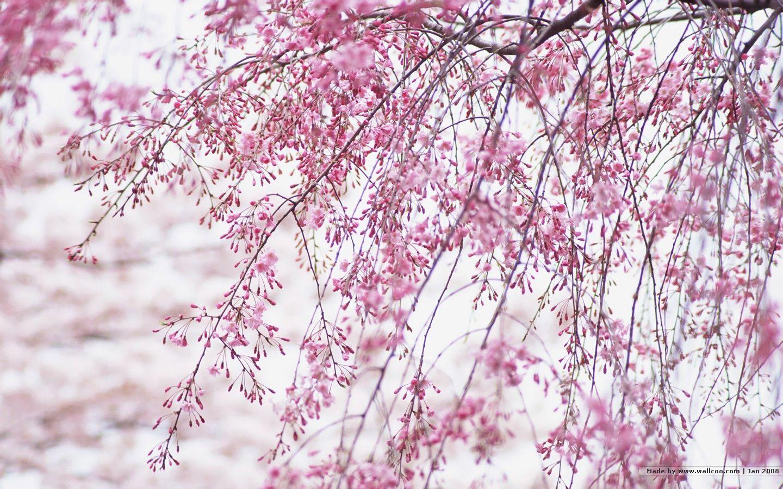 1440 900 Japanese Sakura Wallpapers Japanese Cherry Blossom Photos 1440 900 Wallpap Cherry Blossom Wallpaper Japanese Cherry Blossom Sakura Cherry Blossom