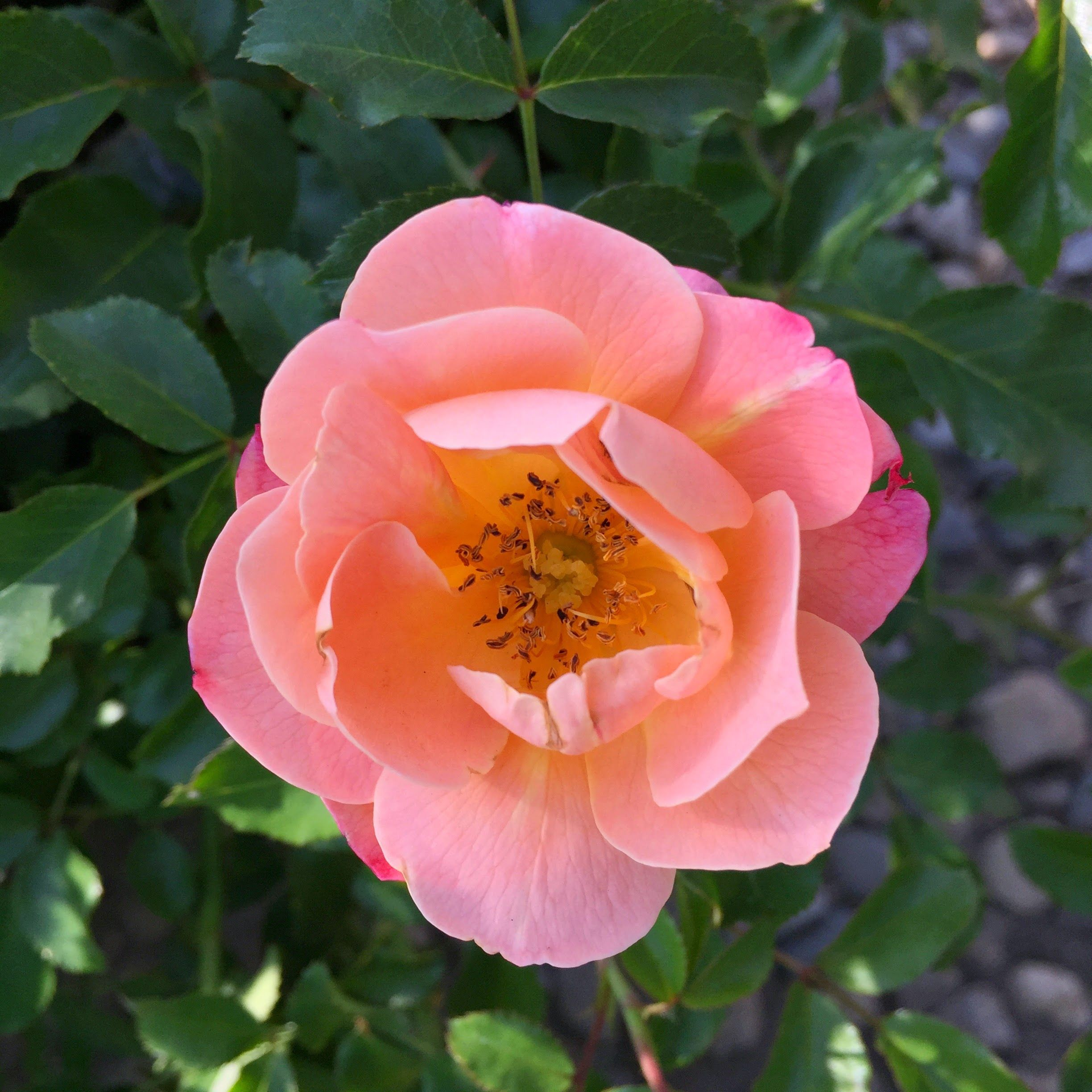 Flower Carpet Amber Groundcover Rose From Soft Red Buds Emerge