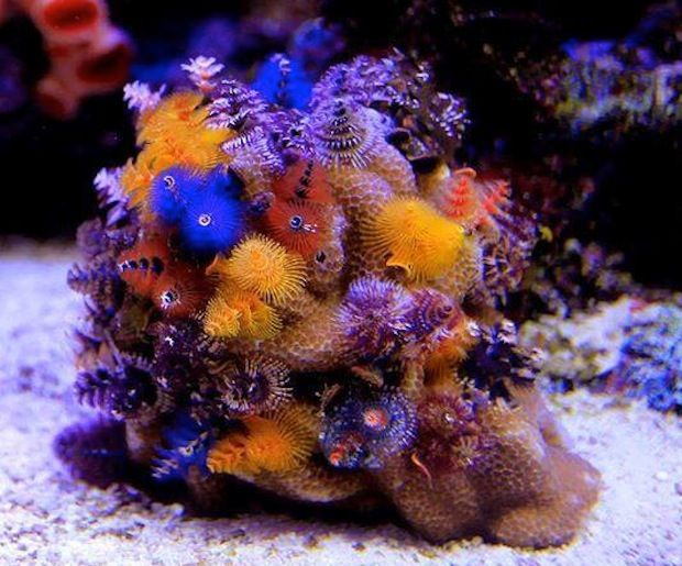 Christmas Tree Worm Rock Porites