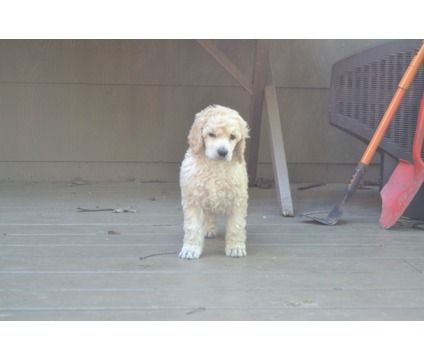 Standard Poodle Puppies Is A Female Standard Poodle Puppy