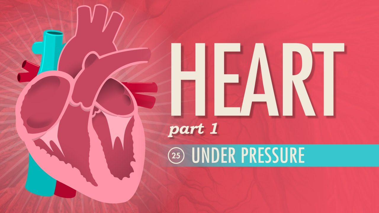 The Heart, part 1 - Under Pressure | Anatomy & Physiology ...
