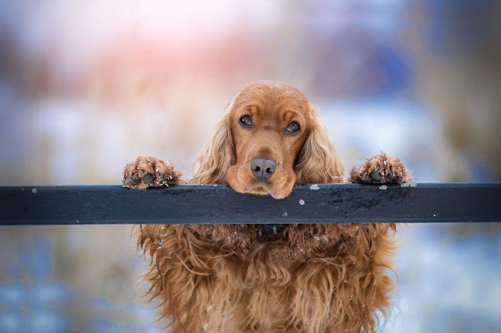 7 Best Dog Breeds To Keep In Your Home Petshoper Cocker Spaniel Dog Spaniel Dog Pet Dogs
