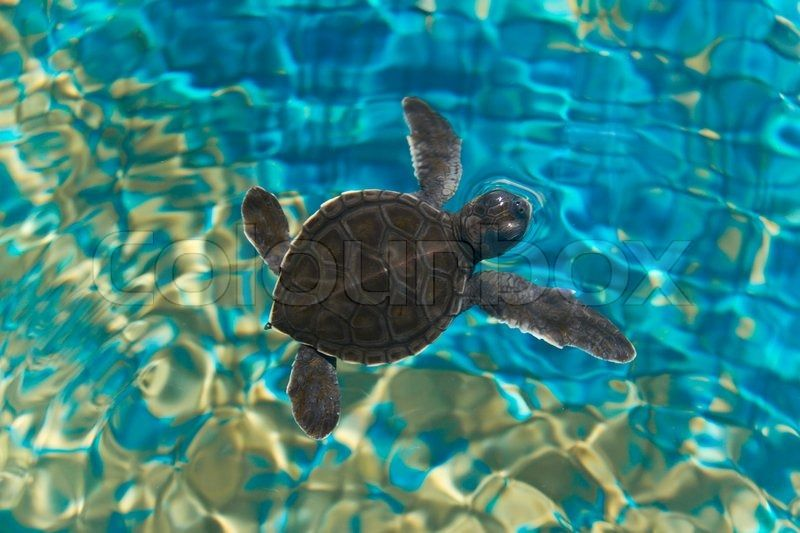 Baby turtle swimming in water | Seahorses, Sea Turtles ...