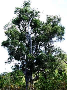 Medicinal Herbs And Plants Tall Perennial Tree From Australasian Area Found Now In Many Sub Tropical Countries Leave In Medicinal Herbs Herbs Phytotherapy