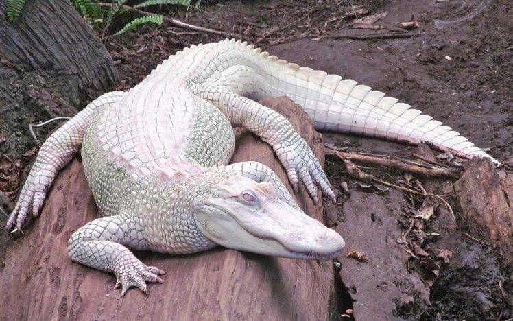 Alligators Albino Nature Animals Hd Wallpaper Desktop Background Animales Referencias