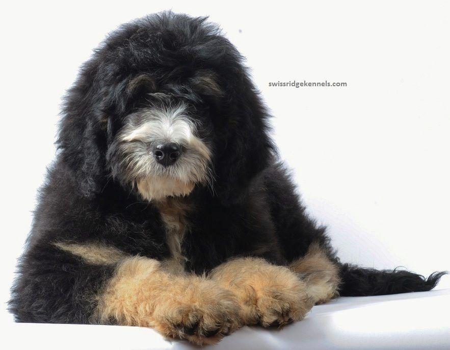 Gucci The Bernedoodle From Swissridge Kennels Doodle Dog