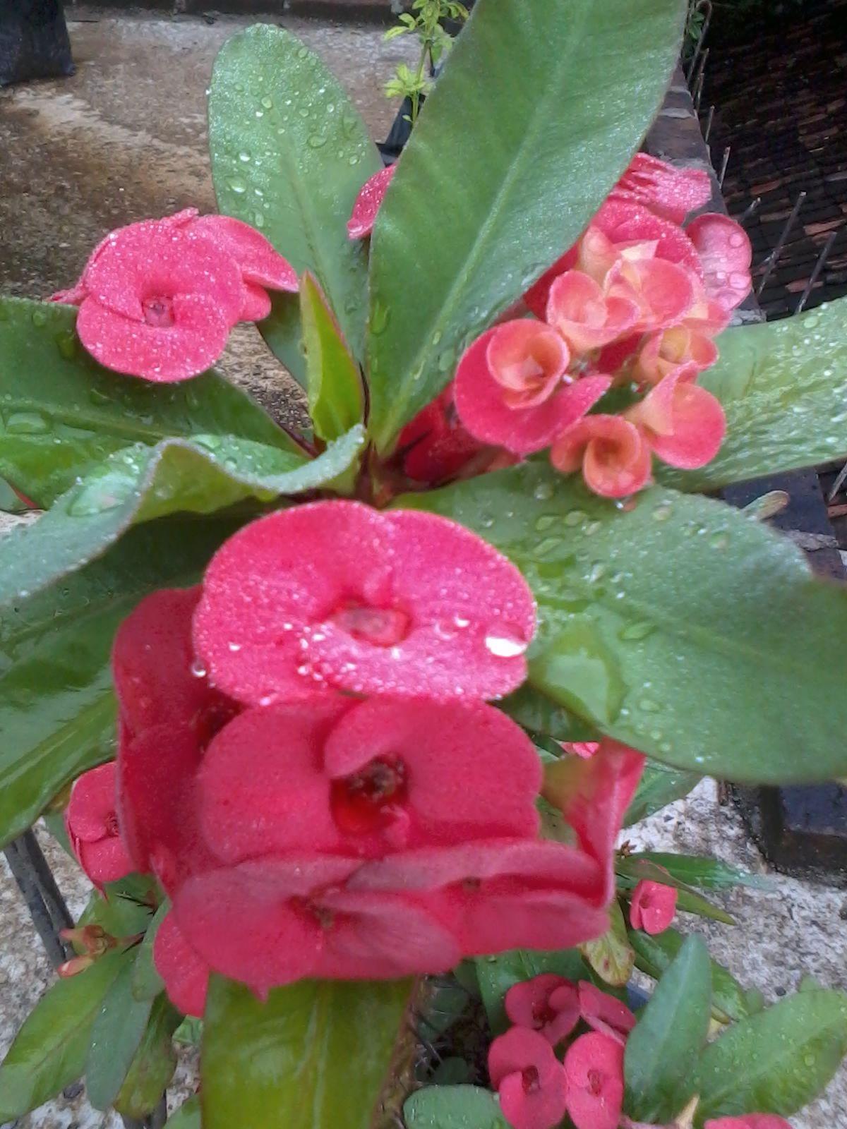 Bunga Euphorbia Merah Bunga Mawar Kebun