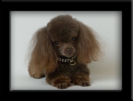 Chocolate Brown Teacup Poodle Cute But Too Little Mascotas Perros Animales
