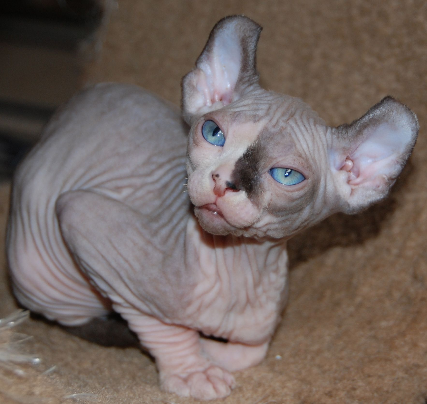 Munchkin Sphynx Cat Kittens For Sale New Jersey Elf