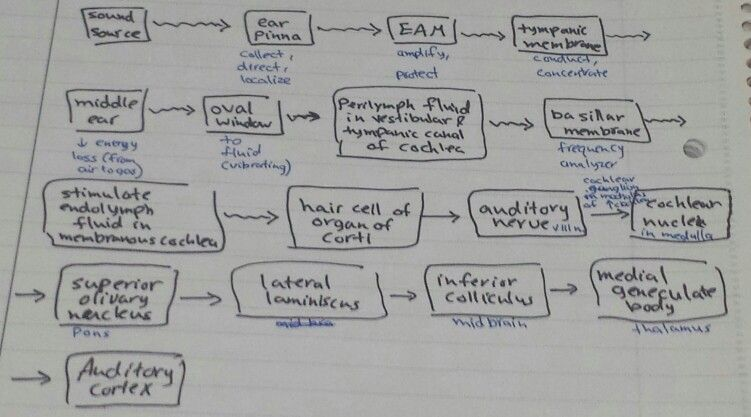Physiology Of Hearing Physiology Bullet Journal Medical