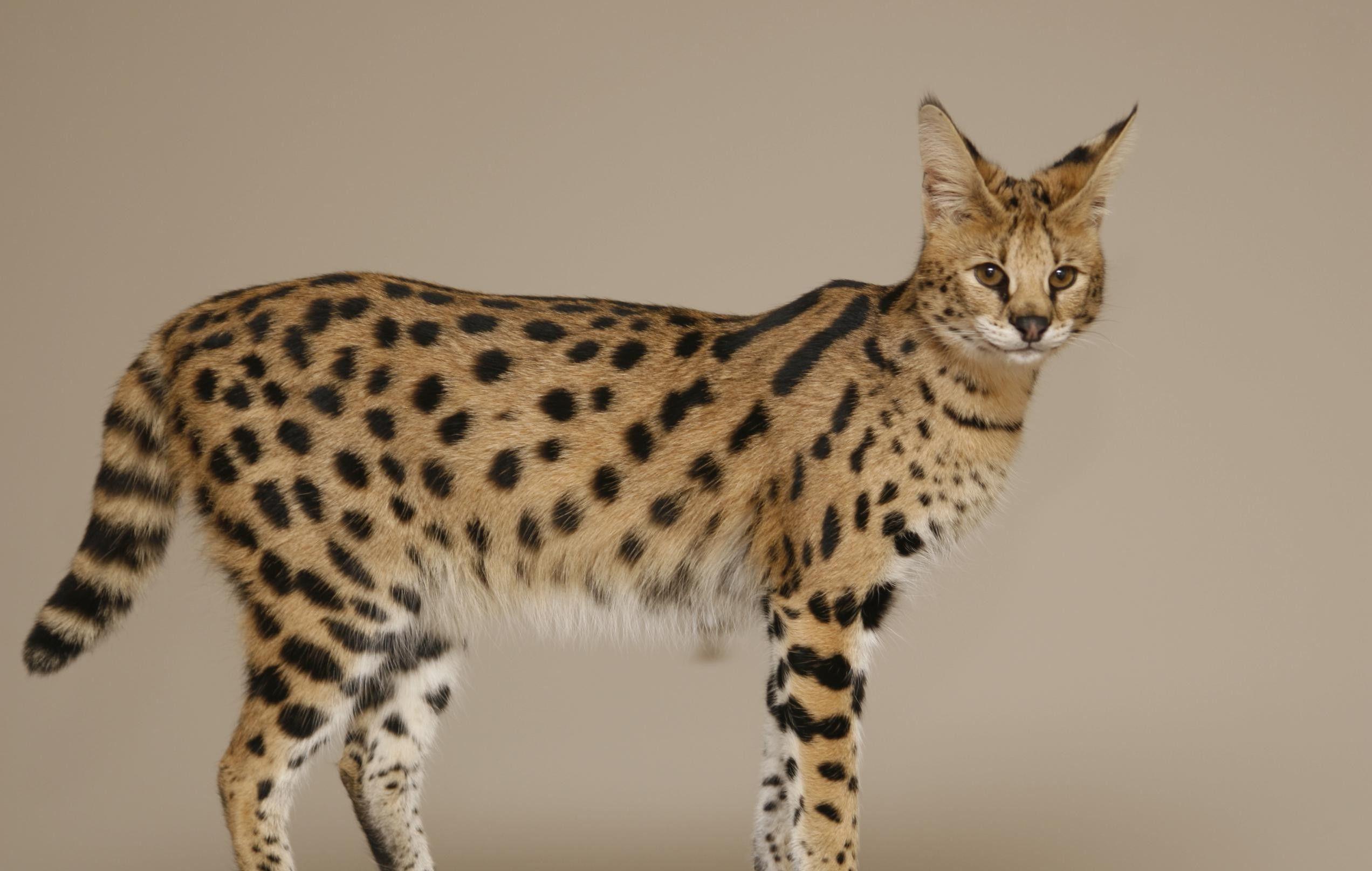 Savannah Cat Gato De Sabana Gato Exotico Razas De Gatos