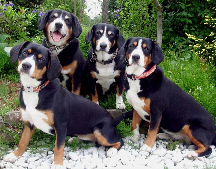 Appenzeller Sennenhunde Is One Of Four Related Swiss Breeds The Other Three Are The Greater Swiss Mountain Dog The Berne With Images Mountain Dogs Cattle Dog Dog Breeds