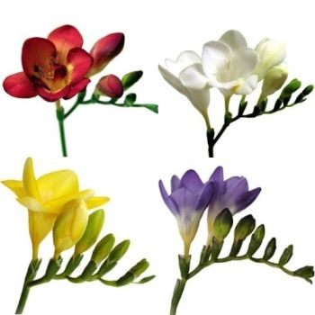 Farm Mix Assorted Colors Freesia Flowers Fiftyflowers Com Freesia Flowers Inexpensive Wedding Flowers Vintage Wedding Flowers