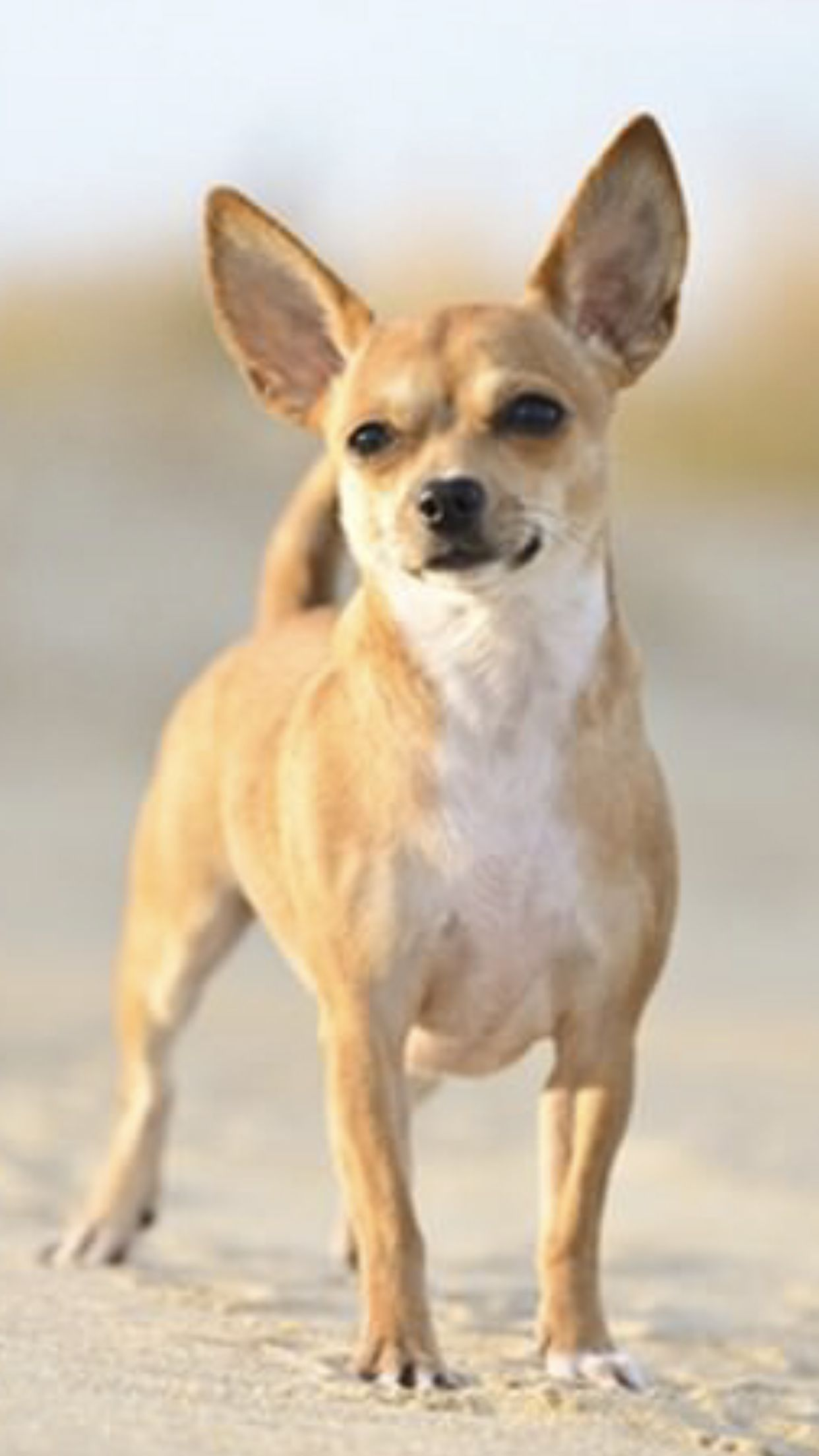 Chihuahua Is One Of The Cutest Smallest Dog Breeds They Are Very