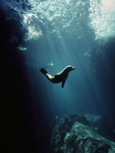 Sea Lion Zalophus Wollebaeki Pup in Undersea Cave Seymour Island Galapagos Islands Photographic Print by Tui De RoyMinden Pictures at Sea Lion Zalophus Wollebaeki Pup in...
