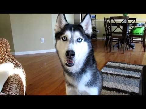 Mishka the Talking Husky wants Chinese Food! - Dog Talking - YouTube