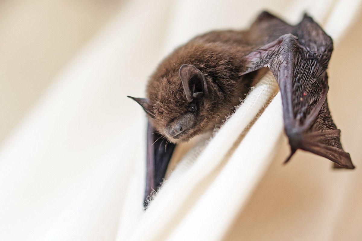 How To Get Rid Of Bats Getting Rid Of Bats Bat Repellent Animals